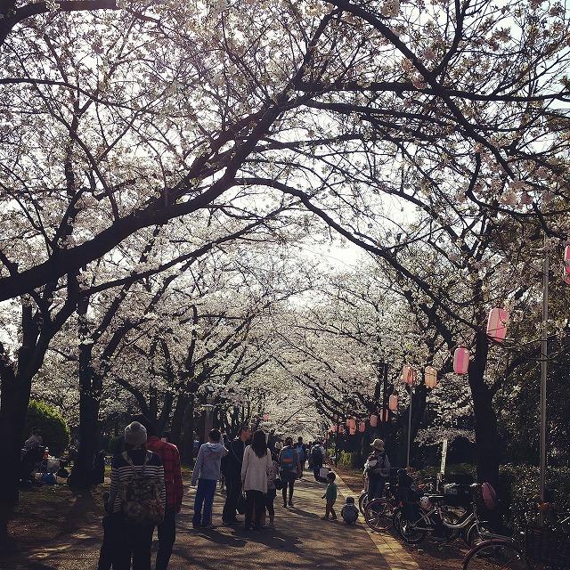 辰巳の森公園桜